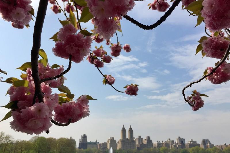 Cherry Blossom 2019