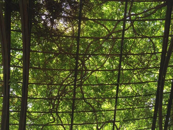 Wisteria im Central Park Conservatory Garden