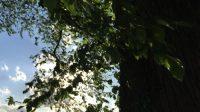 Ulme im Central Park