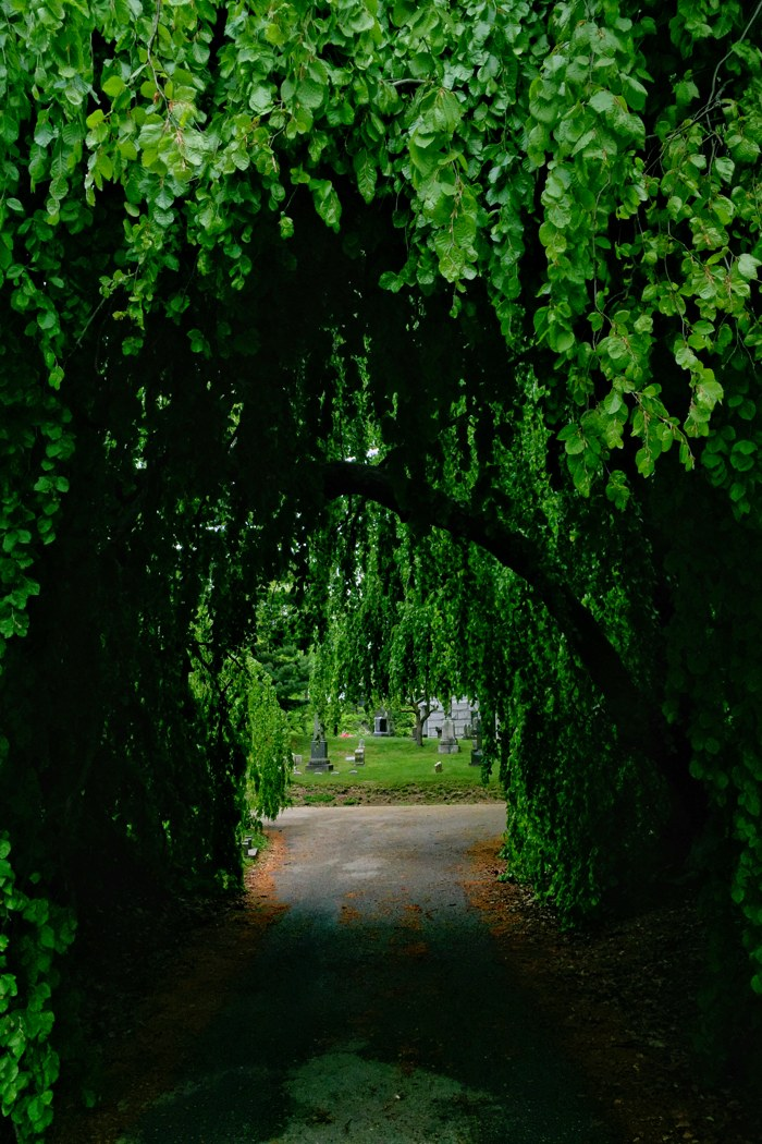 Green-Wood Weeping Beech