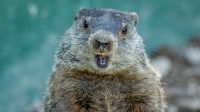 Groundhog Day Murmeltier