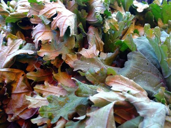 grünes Blattgemüse: Red Russian Kale