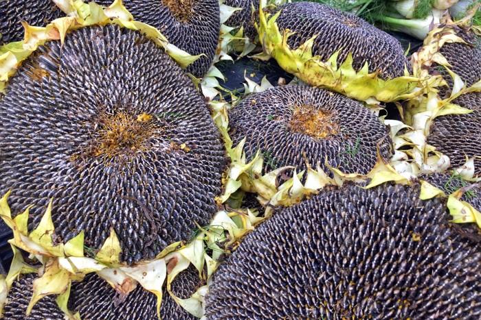 Sonnenblumen Erntegemüse
