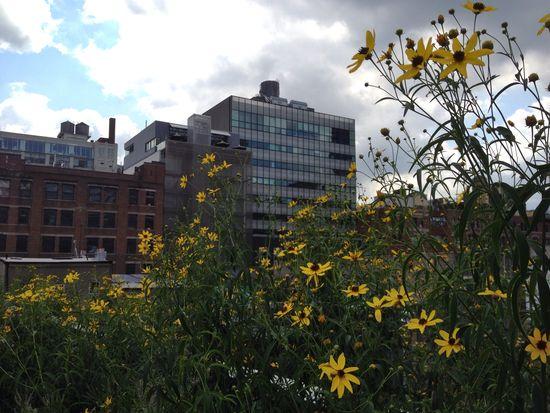 Rudbeckia im Juli auf der High Line