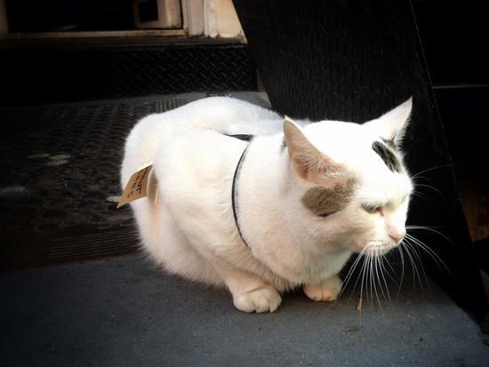 New Yorker Katze
