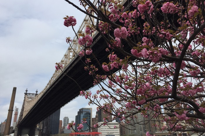 Kirschblüte in New York 2017