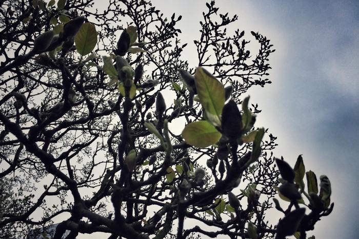 Magnolie in New York 2017 Blüte fällt aus
