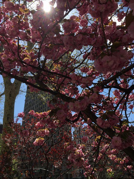 Kirschblüte in Manhattan