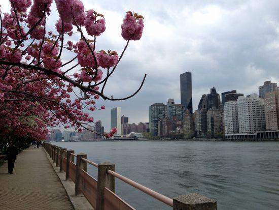 Kirschblüte in New York