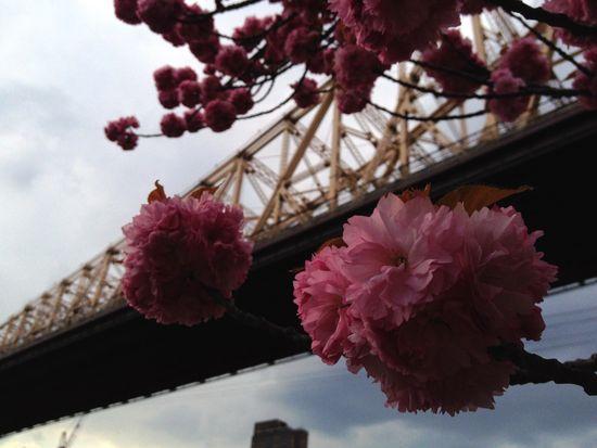 Kirschblüte vor der Queensboro Bridge