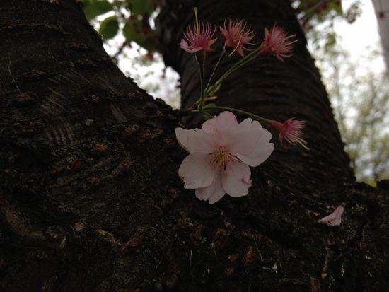Einsame Kirschblüte in New York