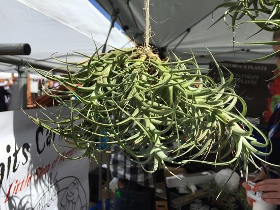 Luftpflanze LIC Flea