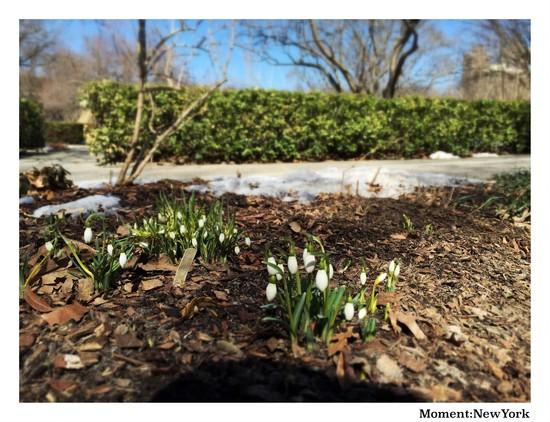 Märzenbecher oder Schneeglöckchen?
