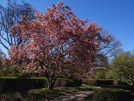 Magnolie im Central Park Conservatory Garden