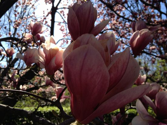 Magnolienblüte in New York