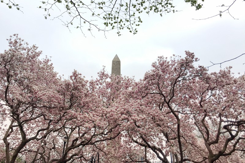 Magnolien Cleopatras Needle Central Park