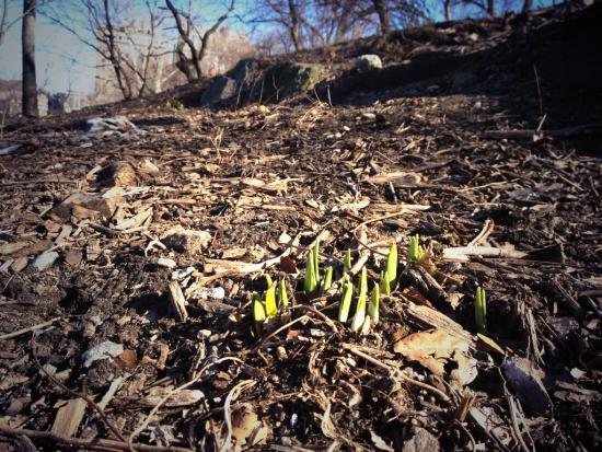 Frühlingsboten im Central Park
