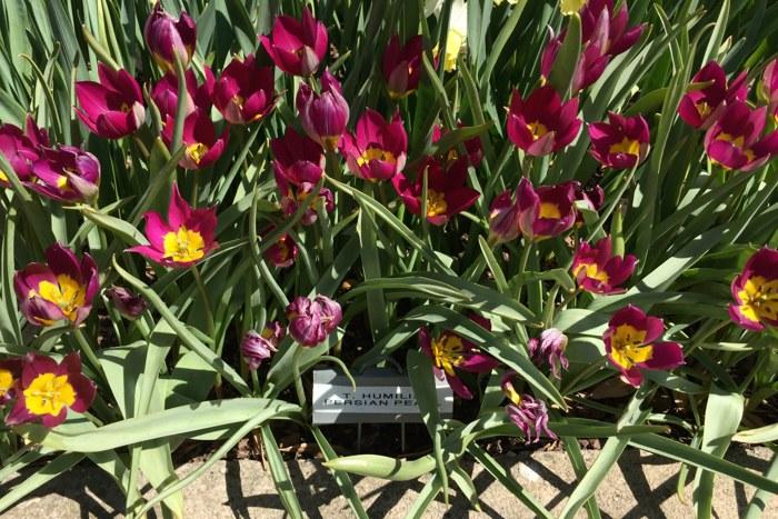 Tulpen Central Park